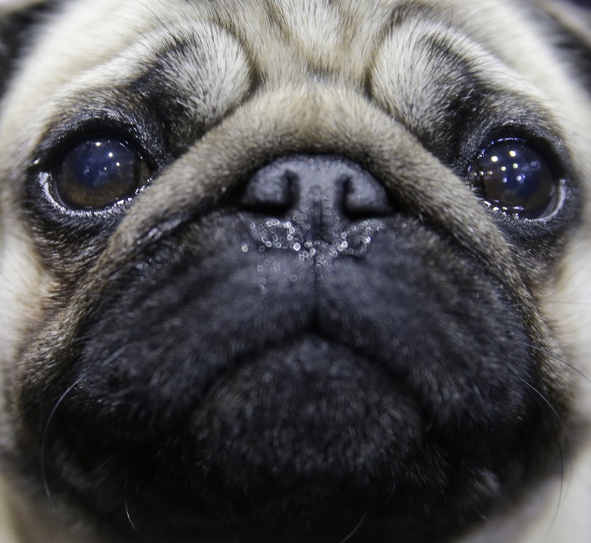 . Lexi, a Pug, waits in the benching area at the Westminster Kennel Club show in New York, Monday, Feb. 16, 2015. The show started Monday morning and, to the owners of the 2,711 pooches set to take part, it\'s the Super Bowl, World Series and Daytona 500 of dogdom in the United States. (AP Photo/Seth Wenig)