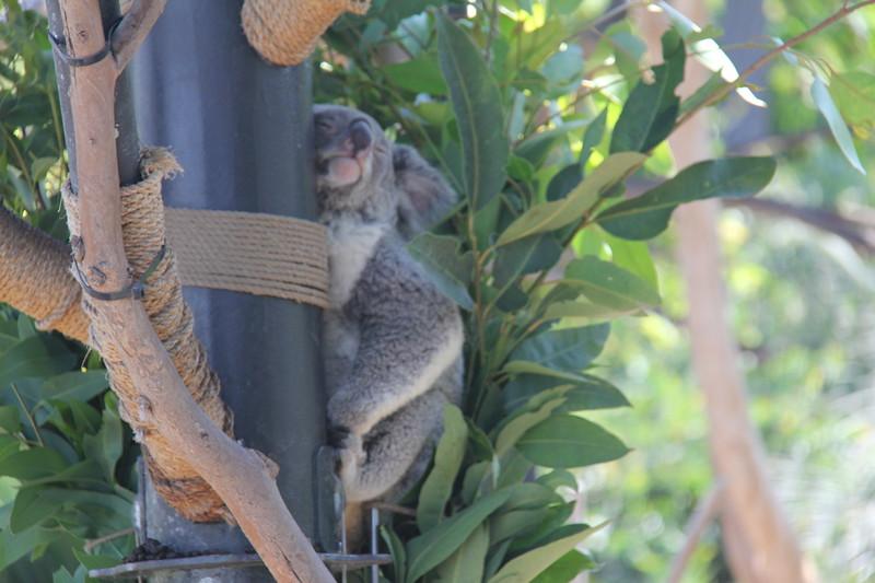 20170807-033 - San Diego Zoo - Koala.JPG