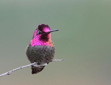Trochilidae - Hummingbirds