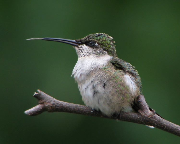 hummingbird_0773.jpg
