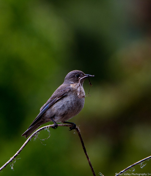 Bluebirs Nesting-1088.jpg