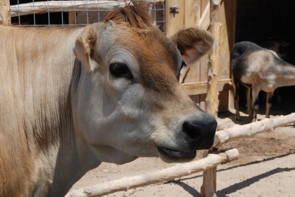 0616 cow.JPG