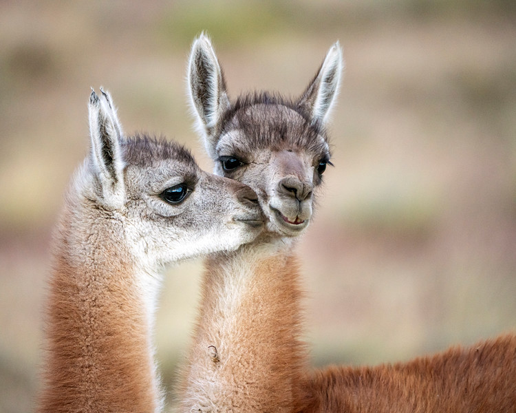 Guanaco Kisses