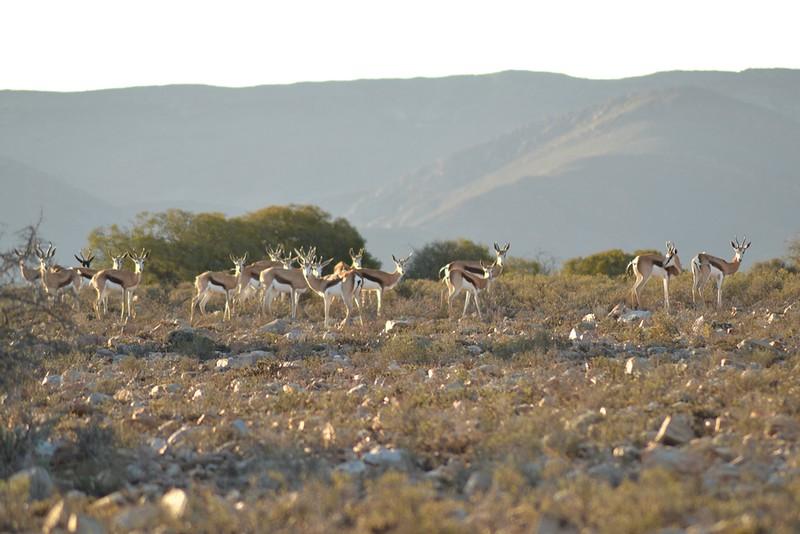 Springbok on rocky landscape