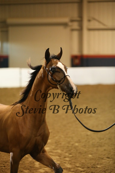 8. 8 450 HA/AA Colts & Geldings