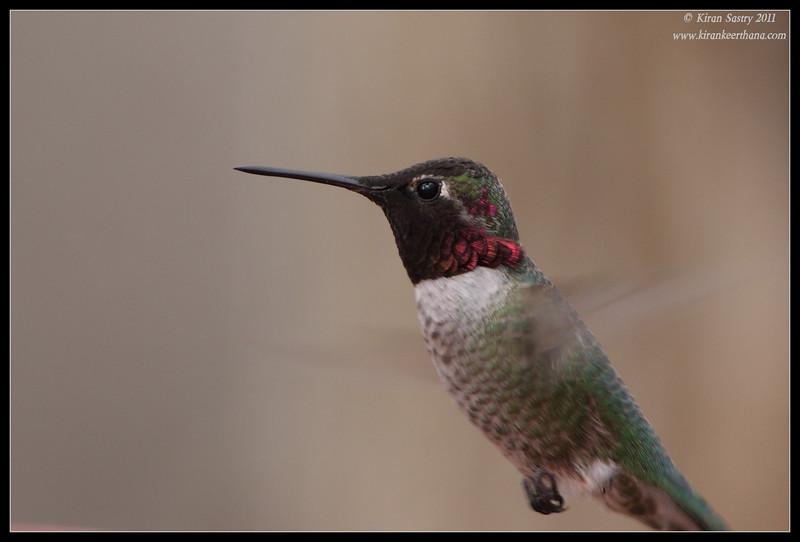 Anna's Hummingbird at Paton's Feeders, Patagonia, Arizona, November 2011
