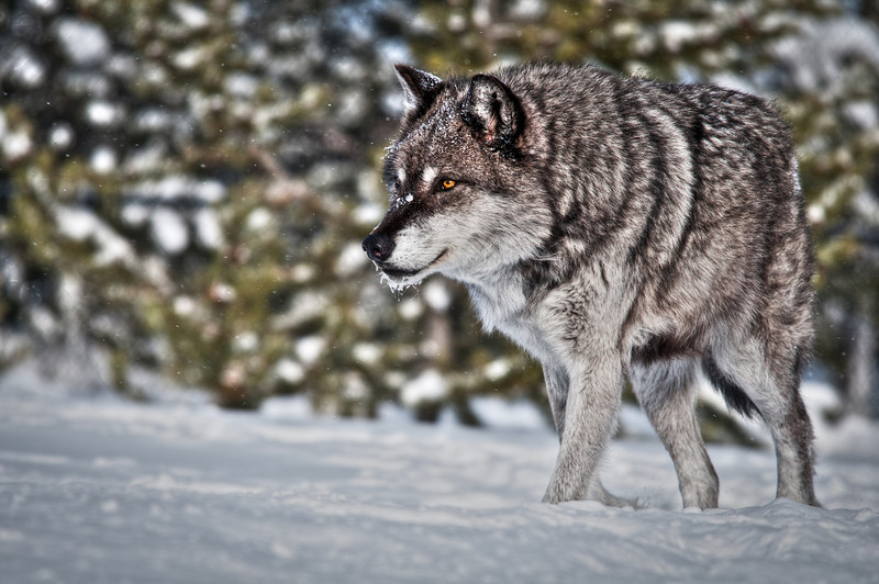 Stalking Wolf HDR.jpg
