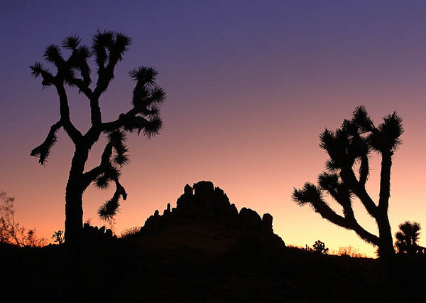 Desert Silouettes - Joshua Tree  Great jumbled mounds of gigantic rounded boulders appear randomly among the trees, contributing to the wild character of the landscape.