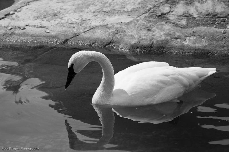 White Swan, Calgary Zoo, April 26