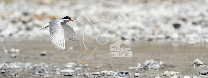 A black-fronted tern (Chlidonias albostriatus) also known as sea martin, ploughboy, inland tern, riverbed tern or tarapiroe, searching the Rakaia fresh water River bed in the South Island for freshwater fish, arthropods and worms.