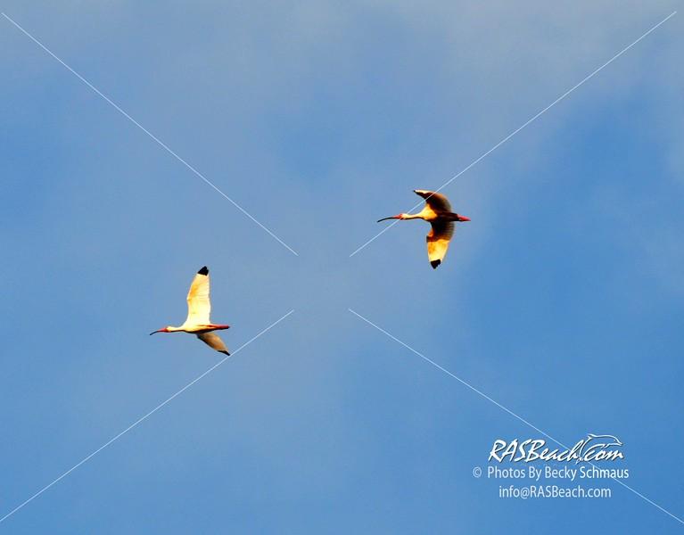 IBIS in flight in the Loxahatchee National Wildlife Refuge.