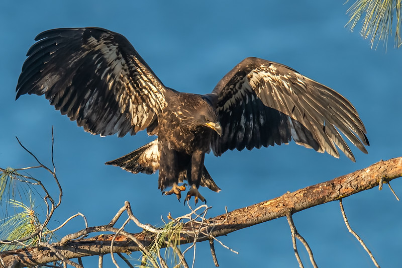 20190701Eagles 7-1-16DSC_4270.jpeg