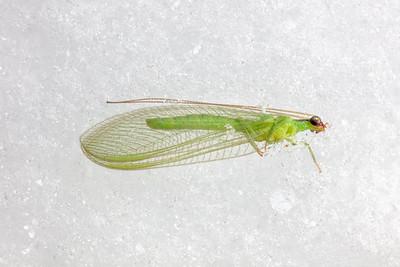 Neuroptera (lacewings, antlions, etc.)