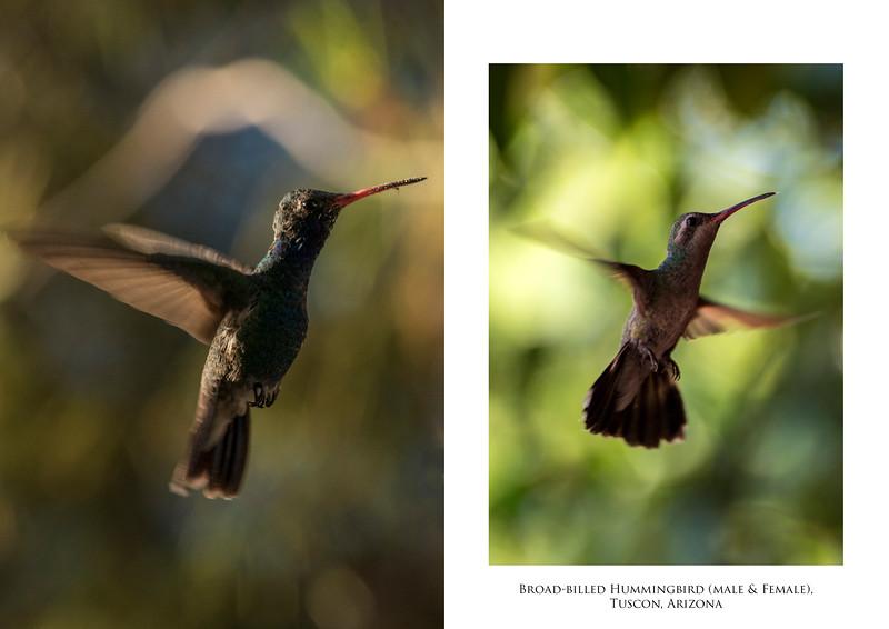 Hummingbird M&F.jpg