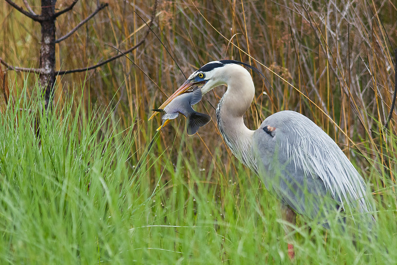 Great Blue Heron - Works to swallow a large fish