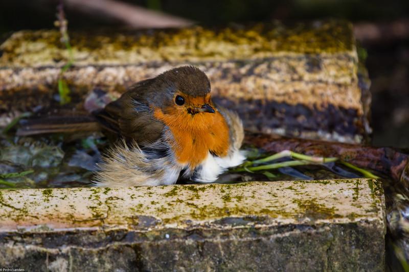 Robin Taking a Dip