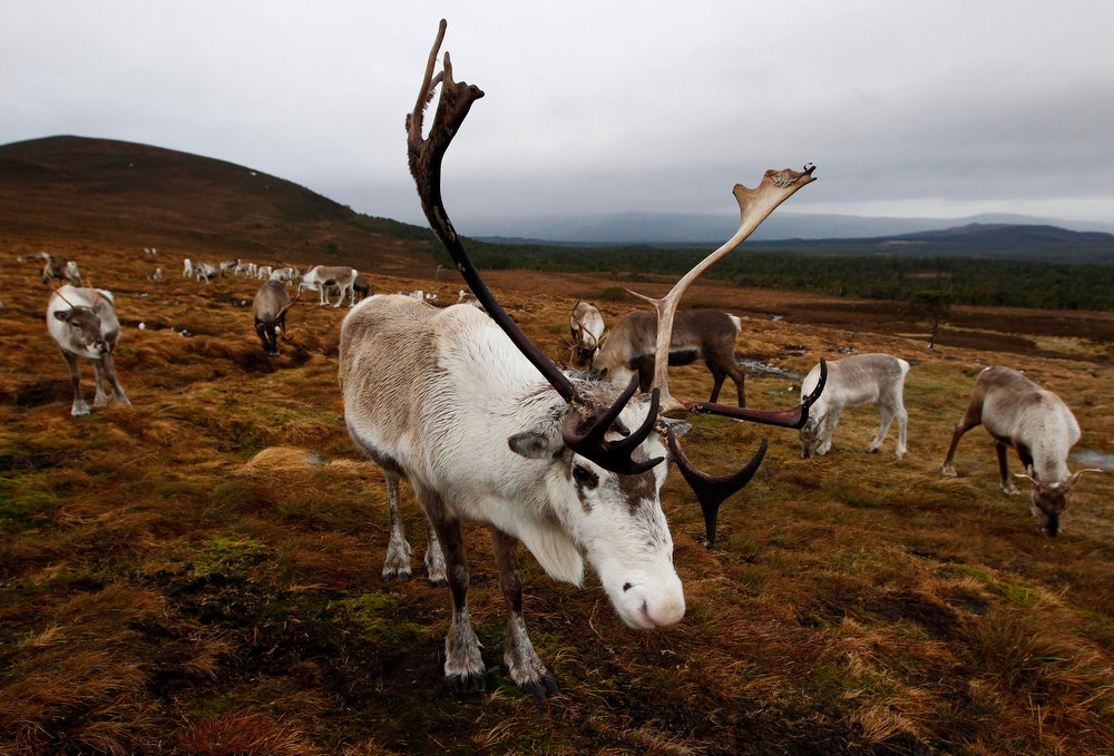 . A herd of reindeer stand together in the Cairngorm Mountains near Avimore, Scotland December 28, 2012. The 150 strong Cairngorm Reindeer Herd is Britain\'s only herd of reindeer. REUTERS/David Moir