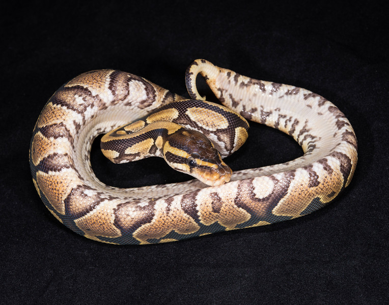 119FSPK, Female Spark/Yellow Belly, $50, hold for Darlene S.