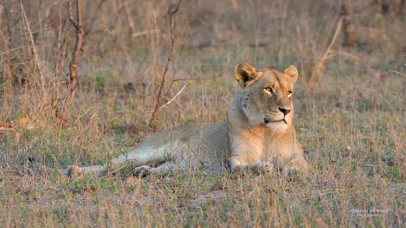 African Lion, Sabi Sands (EP), SA, Sept 2015-22.jpg