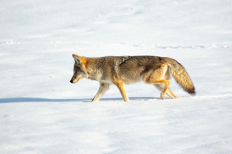 387A0056 Coyote profile.jpg