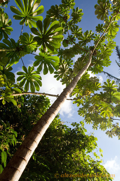 Cecropia trumpet trees are common along roadsides and disturbed habitats. Their stems house colonies of fierce Azteca ants that protect the tree in exchange for room & board.