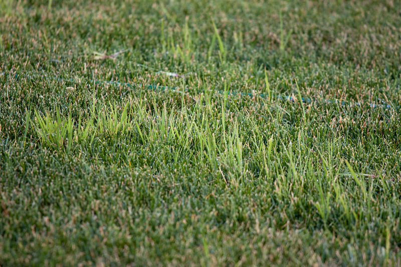 'Pidgeon grass' in the sod