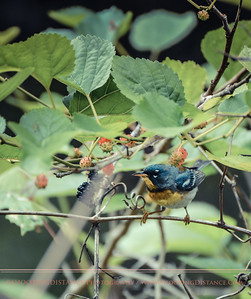 Northern Parula in Mulberry