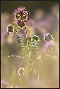 Phacelia /Scorpionweed