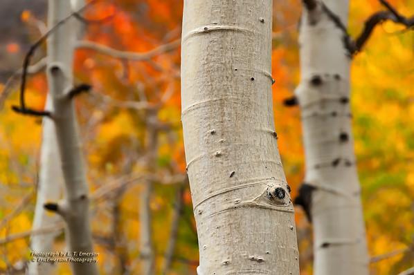 Bishop Area Fall Color