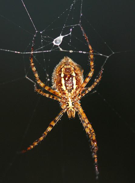 0891 Orb Spider.jpg