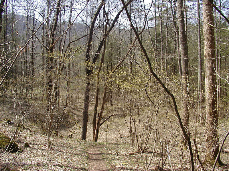 Notice the pale pea green haze of leaves emerging on these small tree or shrubs? Let's get closer and see what they are like. This is along the path heading into White Oak Sinks.  GSMNP TN 3/09