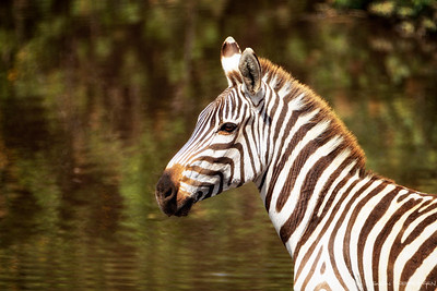Steppesebra (Plains zebra)