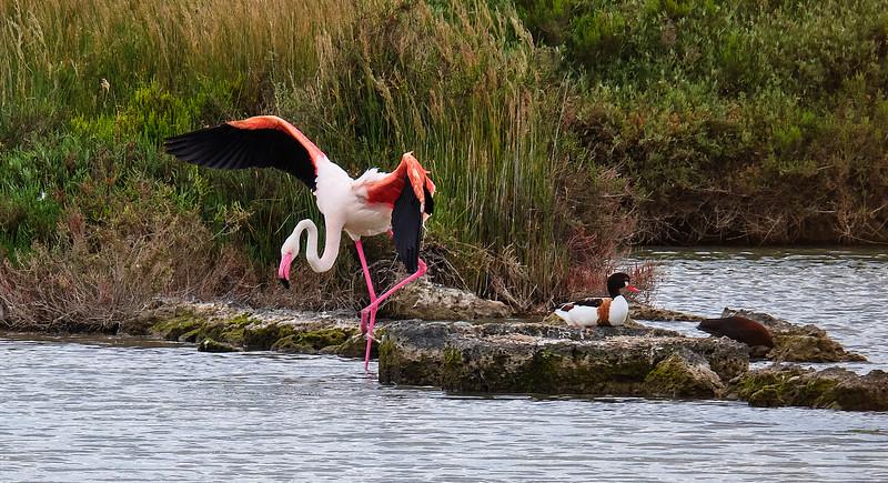Pink flamingo landing. Duck!