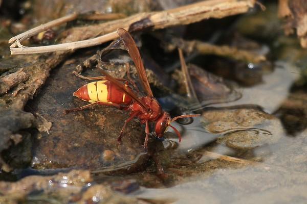 Oriental Wasp