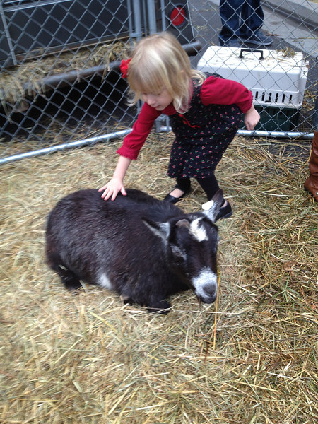 She's right at home with the Pygmy goats.