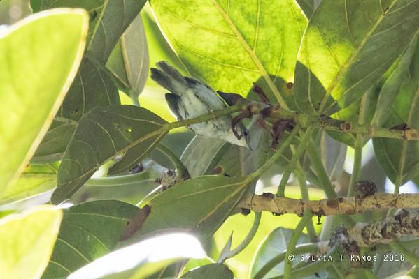 Mindanao Miniature Babbler