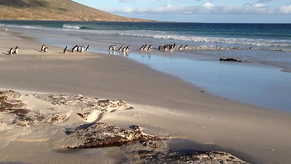 Penguins of the Falkland Islands