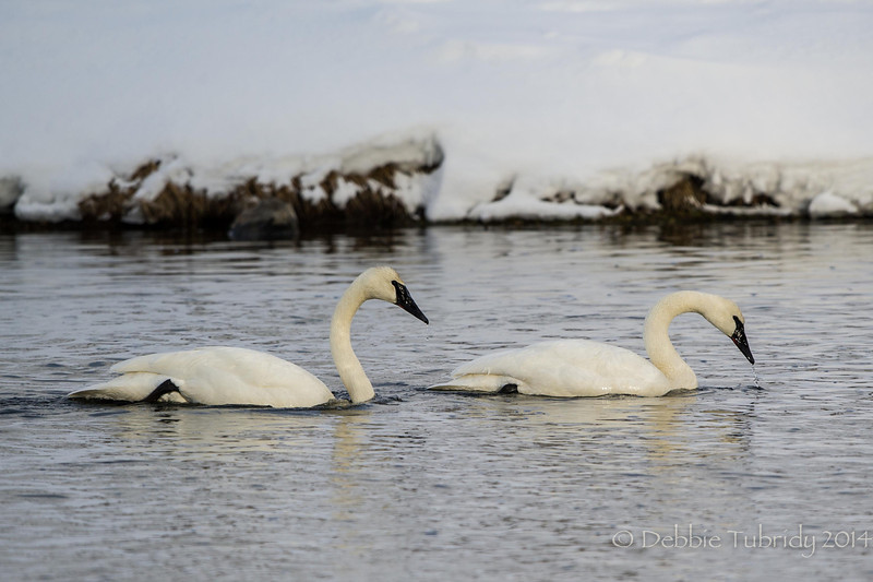 Trumpeter Swans in Winter Firehole River, Yellowstone National Park Wyoming © 2014
