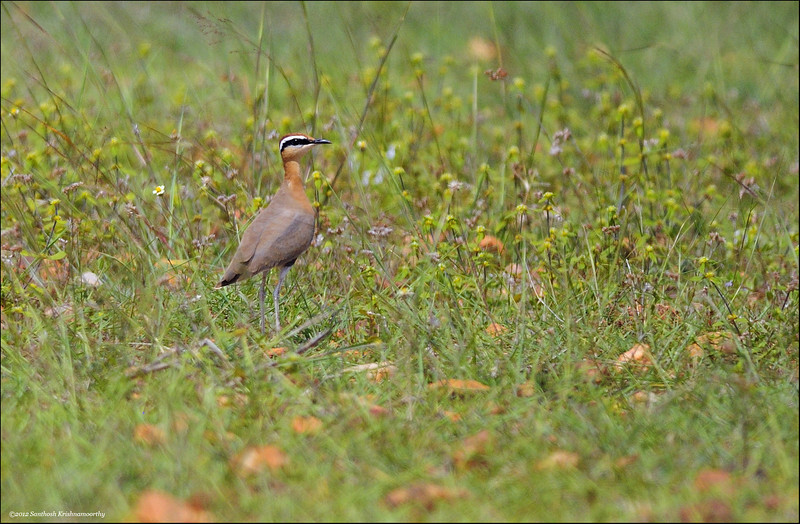 Indian Courser...