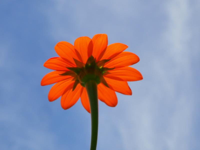 Mexican Sunflower.JPG