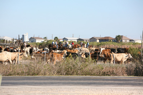 Matagorda Cattle Drive - December 2007