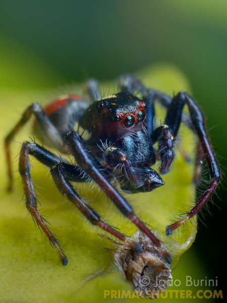 Black jumping spider on the edge of a leaf