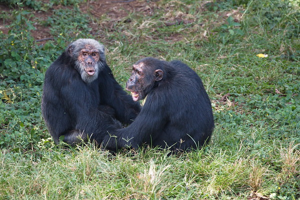 Ngamba Chimp Sanctuary