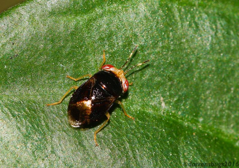 An aptly-named Big-eyed Bug, family Geocoridae, from Thailand.