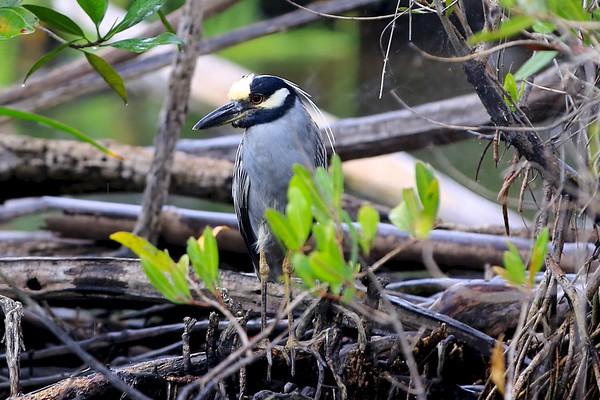 Birds of Tovaro Estuary (San Blas, Mexico)