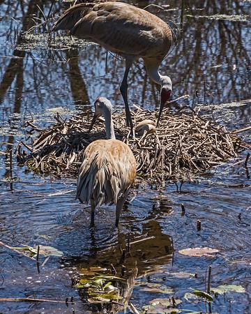 Herons, Cranes, Egrets, etc.