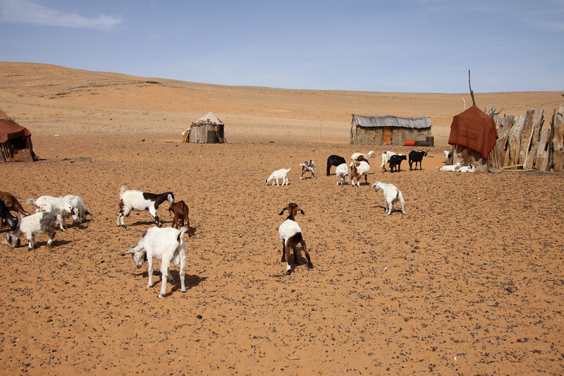 Goats in another Himba village