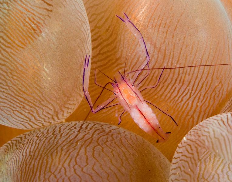shrimp bubble coral 1.jpg