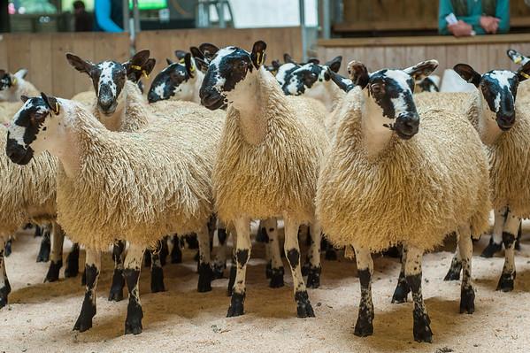 Hexham Mart Ewe Lambs (Mules and Blackies) September 4th 2015