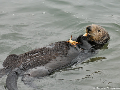 Sea Otters of Moss Landing State Beach